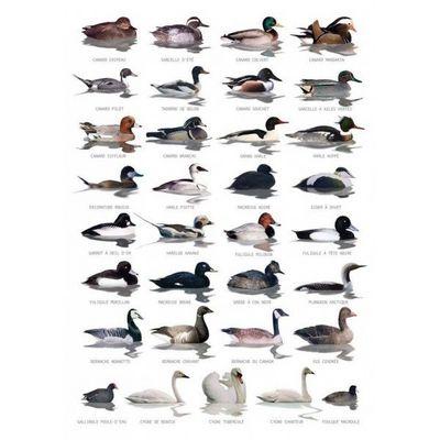 OCEANS ET JARDINS  O&J - Poster-OCEANS ET JARDINS  O&J-Carte postale Oiseaux aquatiques
