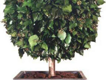 Hortus Verde - hedera helix - Indoor Topiary