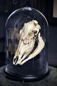 Objet de Curiosite - eclaté de crâne de cheval - Taxidermy