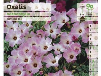 LES DOIGTS VERTS - bulbe oxalis adenophylla x5 - Flower Bulbs