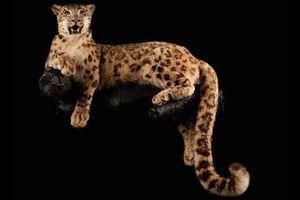MAISON PAUWELS -  - Animale Imbalsamato